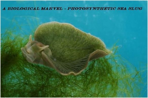A Biological Marvel - Photosynthetic Sea Slug - adidarwinian