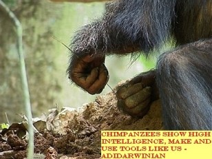 Chimpanzees Show High Intelligence, Make and Use Tools like Us - adidarwinian