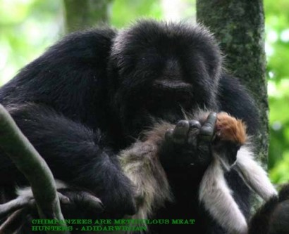 Chimpanzees are Meticulous Meat Hunters - adidarwinian