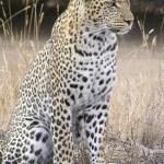 Leopard - Panthernae - adidarwinian