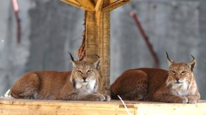 Lynx - adidarwinian