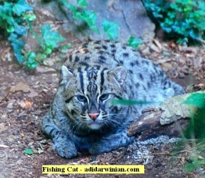 Fishing Cat - adidarwinian