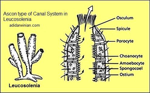 leucosolenia ascon type canal system adidarwinian