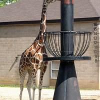 Never tie a giraffe to a street lamp
