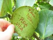 "These are especially thick leaves that you can write on. ""Pura vida,"" which means ""pure life,"" is the unofficial slogan of Costa Rica."