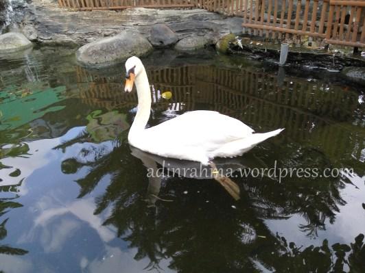 angsa-ala-swan-lake