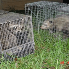 wildlife-trapping-removal