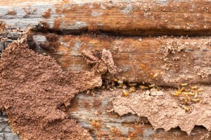 termites destroying old wood