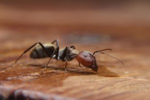 an ant stands on a wooden table