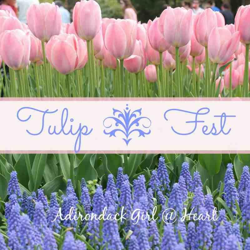 Tulip fest albany ny
