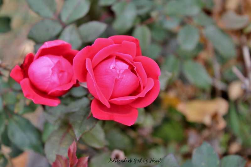 Swart's tavern roses