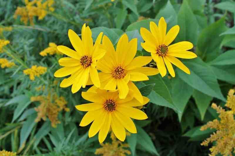 yellow woodland sunflowers
