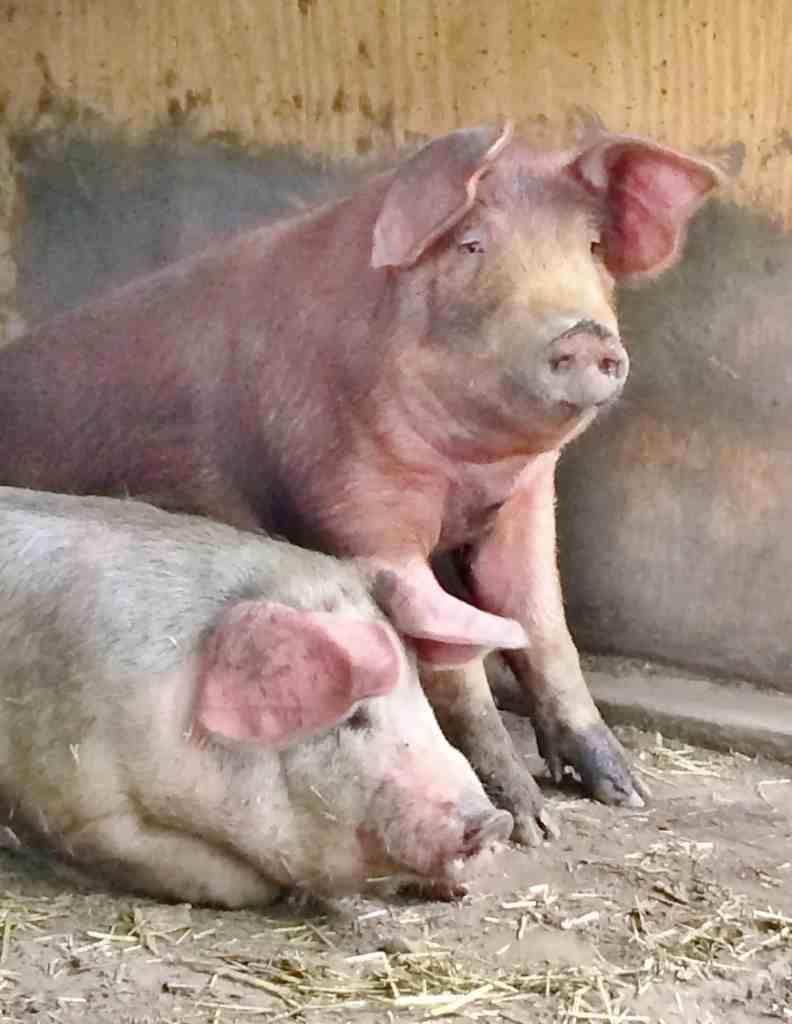 happy as pigs in mud adirondackgirlatheart.com
