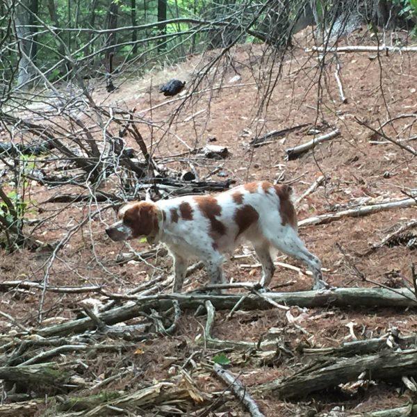 New-York-Hunting-Dog-NY-11