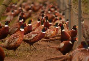 pheasant_farm