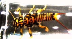 golden_stonefly_ausable_adirondacks