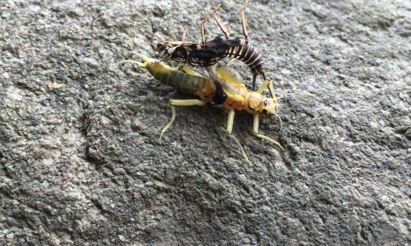 golden_stonefly_adirondacks_ausable