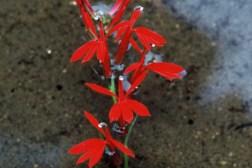Cardinal Flowertn
