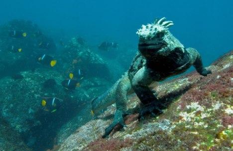 Cute Algae Wallpaper Marine Iguana Amblyrhynchus Cristatus Our Wild World