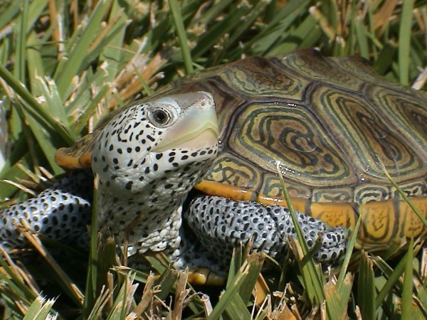 Diamondback Terrapin Malaclemys Wild World