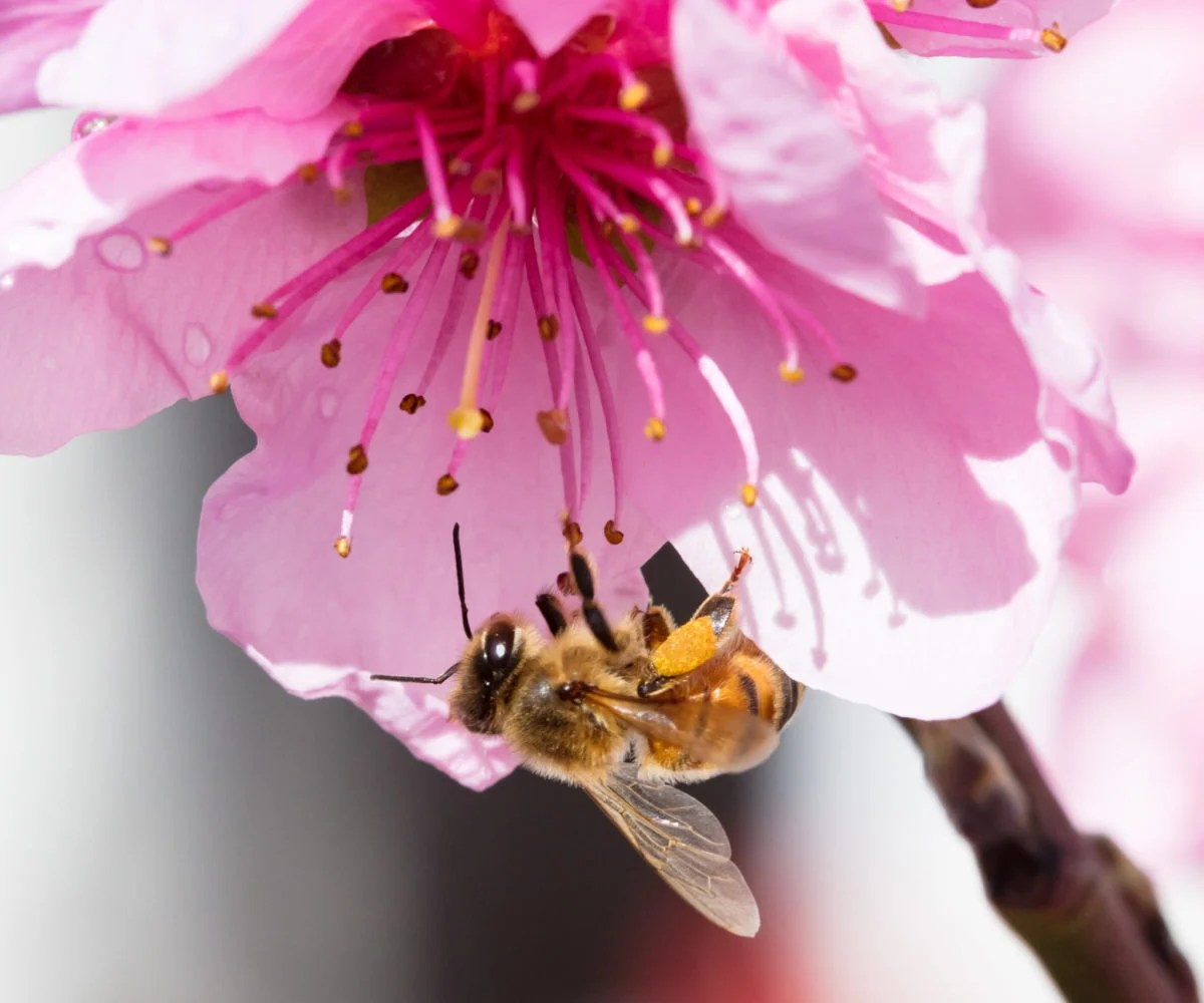 An Australian bees pulls nectar from a peach tree flower during springtime in Melbourne, Victoria, Australia