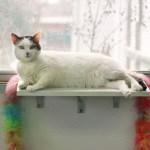 Adopt Sassy - San Antonio shelter cat