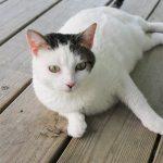 Adopt Sassy - Domestic Shorthair Cat