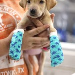 Noodle - puppy with carpal laxity syndrome