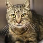 Adopt Baloo - Special needs tabby cat