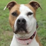 ADL - Adopt Cindy Lou - American Staffordshire Terrier
