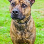 ADL - Adopt Bailey - Shepherd