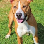 ADL - Adopt Buddy - American Staffordshire Terrier