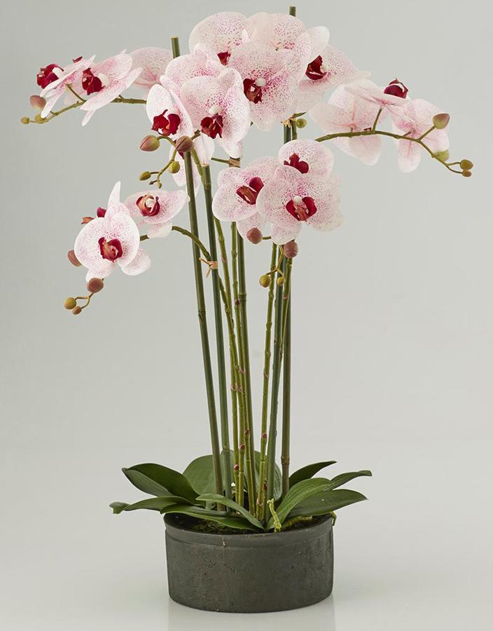 Pianta di Orchidea Phaleonopsis  Scegli il Colore
