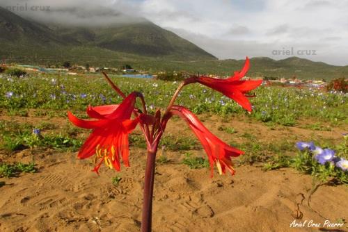 Cuaderno de Viaje: Desierto Florido de Chile y el Norte – 2015