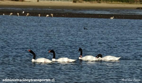 Viaje a Chiloé #3 – Tour de Observación de Aves (Caulín + Tocoihue)