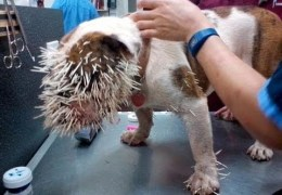 Bulldog Attacked By Porcupine