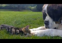 St Bernard loves kitten