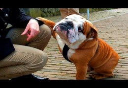 10 Funniest Bulldog Videos