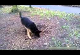 Dog Wants Pulling Tree Root