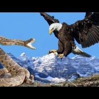 Eagle vs Snake Real Fight | Eagle Attack Snakes ☆ Amazing Animal