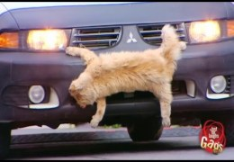 Top 10 Just for Laughs Gags: Roadkill Cat