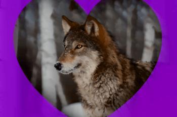 kampania wwf wilki