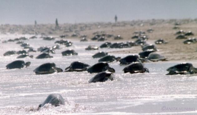 Asegura Profeco en Oaxaca un millar de huevos de tortuga Golfina (22:00 h)