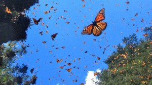 mariposa monarcca