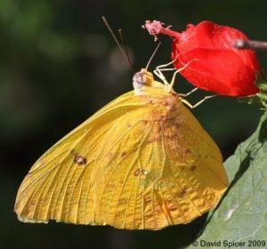 mariposa1