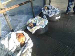 perros en llantas