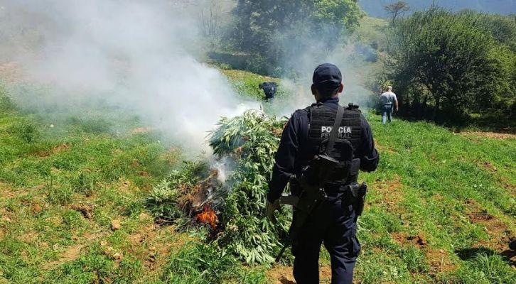 Destruye PF plantío de marihuana en Oaxaca (21:30 h)