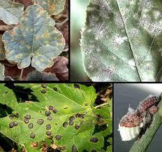 hongos patogenos