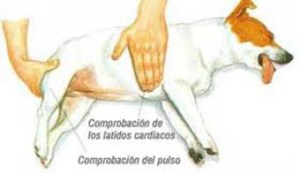 pulso perros