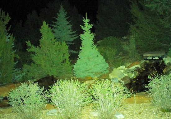 Neighborhood Bear Behind Bush (Source: Richard Andre)